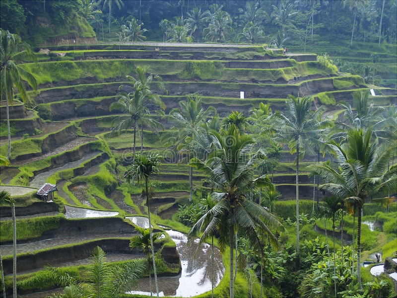 Het Terras van de rijst in Bali, Indonesië royalty-vrije stock foto's
