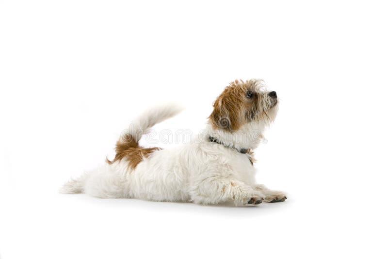 Het Tevredenstellen van het puppy royalty-vrije stock foto