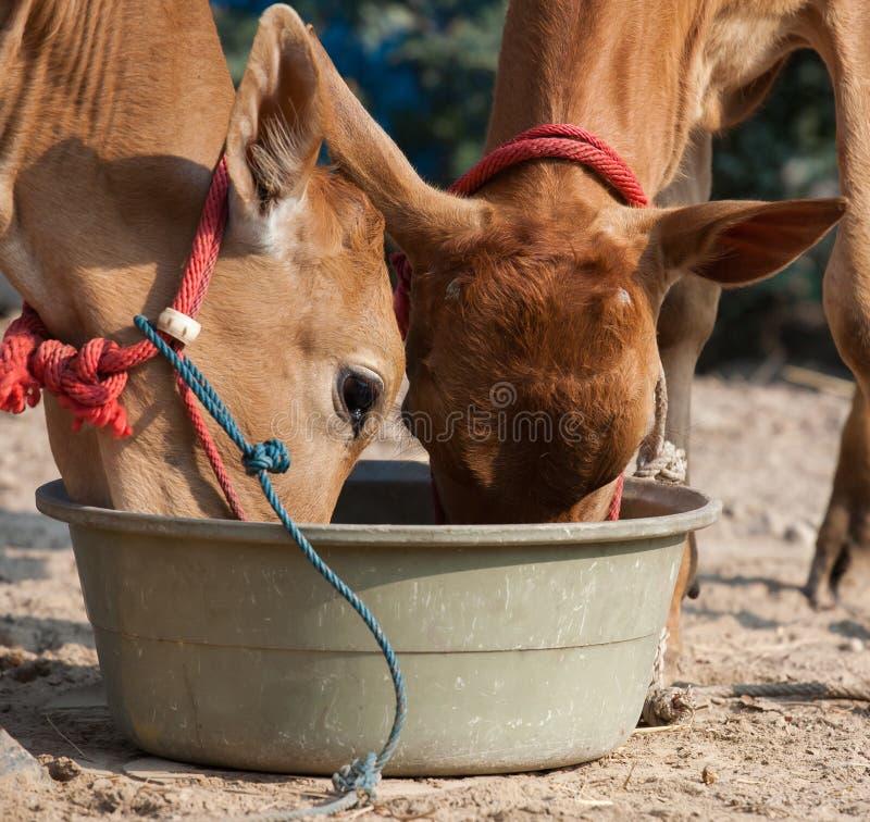 Het Thaise mannelijke koe eatting royalty-vrije stock foto's