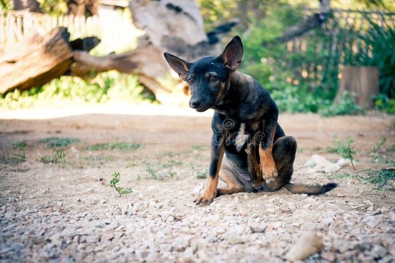 Het Thaise zwarte hond jeukerig krassen zijn been stock afbeeldingen