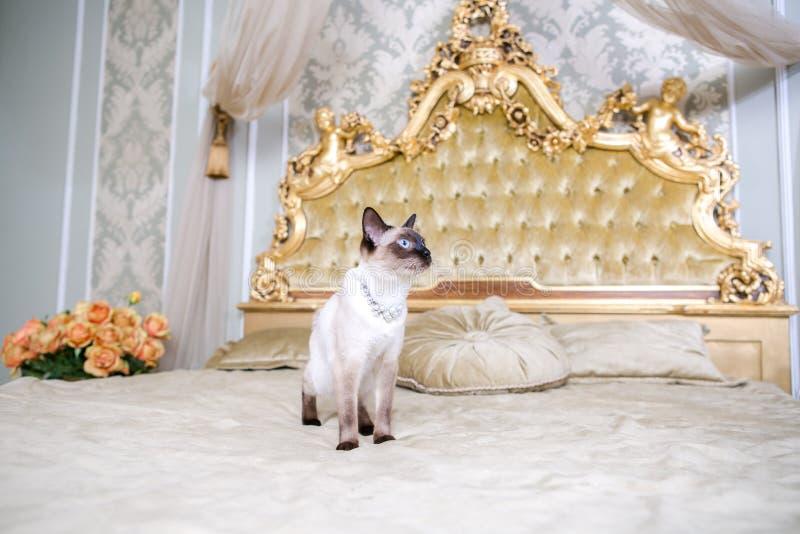 Het thema van luxe en rijkdom De jonge kat zonder een staart rasechte bobtail Mecogon is op het grote bedhoofdeinde dichtbij de R royalty-vrije stock afbeeldingen