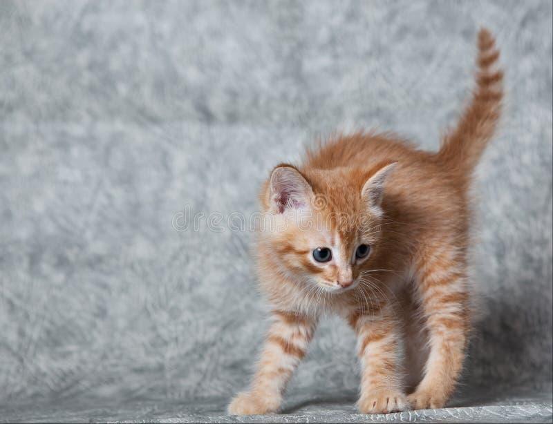 Het tijger-katje van de gember stock afbeelding