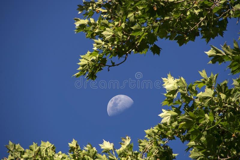 Het toenemen maan door de bladeren dat van de vliegtuigboom wordt omringd royalty-vrije stock fotografie