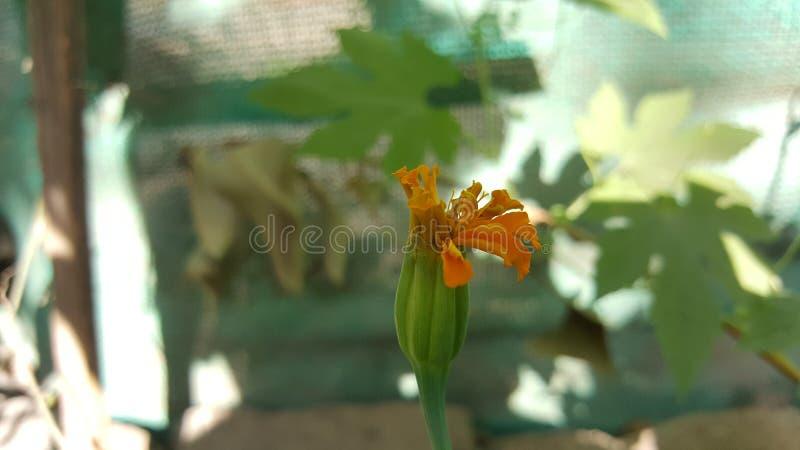 Het toenemen mooie bloem van bloem de Indische genda stock foto
