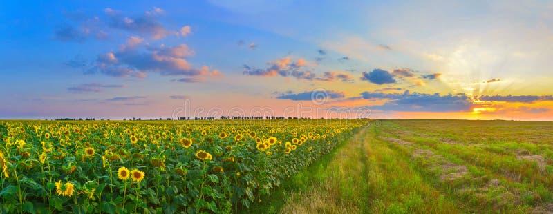 Het toenemen zon boven het gebied van zonnebloem in de zomer stock afbeelding