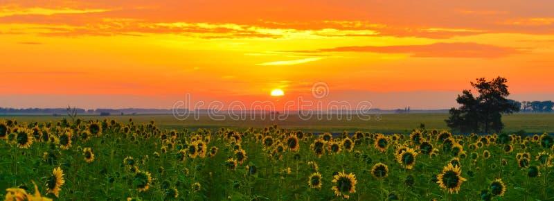 Het toenemen zon boven het gebied van zonnebloem in de zomer royalty-vrije stock foto