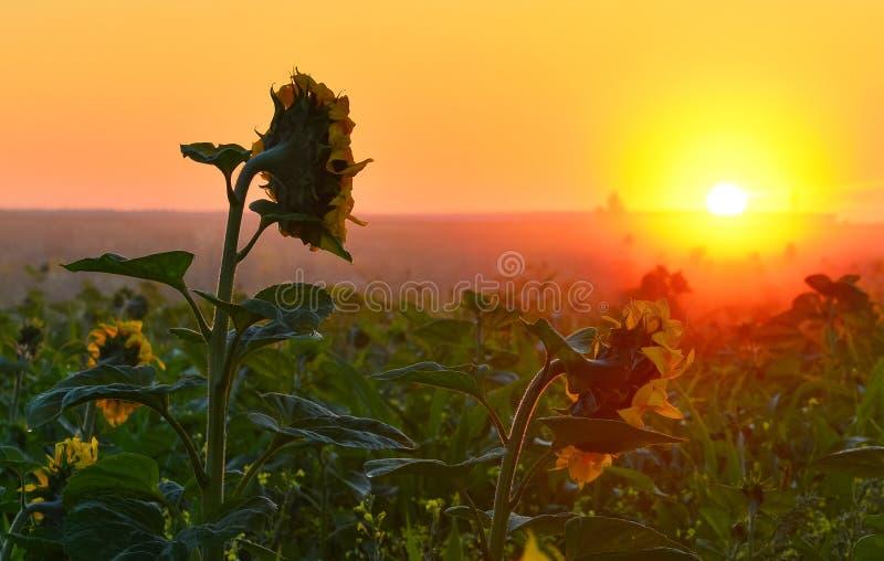 Het toenemen zon boven het gebied van zonnebloem in de zomer royalty-vrije stock afbeeldingen