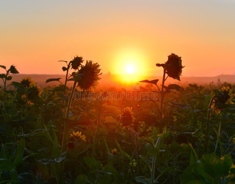 Het toenemen zon boven het gebied van zonnebloem in de zomer royalty-vrije stock foto's