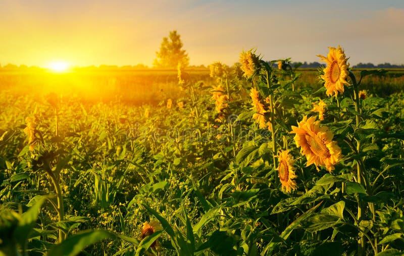 Het toenemen zon boven het gebied van zonnebloem in de zomer stock afbeeldingen
