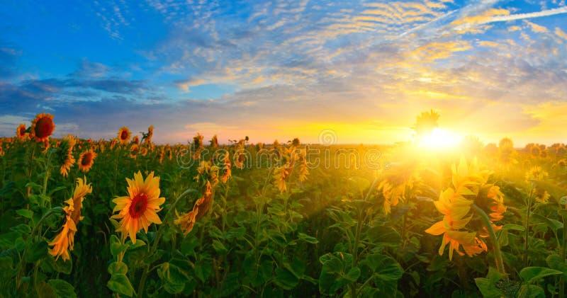 Het toenemen zon boven het gebied van zonnebloem in de zomer royalty-vrije stock afbeelding