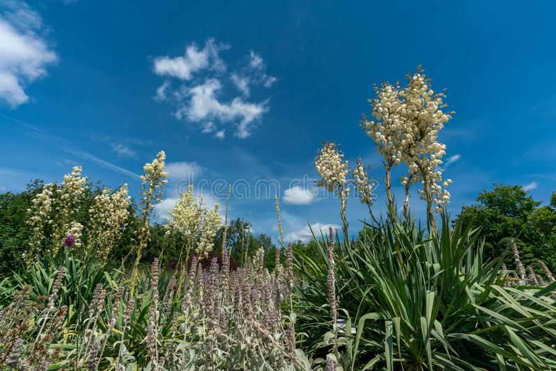 Het toneelbed die van de de zomerbloem verscheidene witte yuccafilamentosa en salie kenmerken stock afbeeldingen