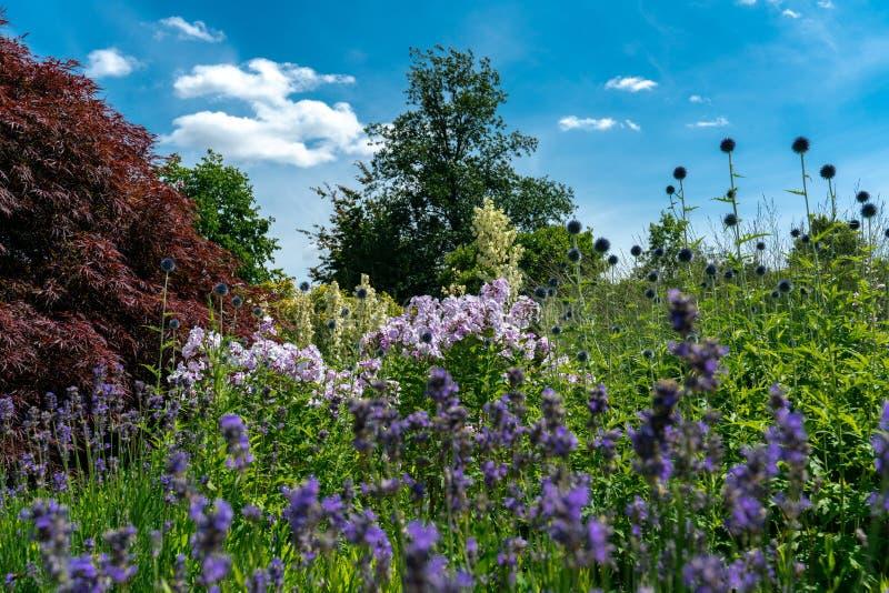 Het toneelbed die van de de zomerbloem verscheidene witte yuccafilamentosa, floxxen, distels en lavendel kenmerken stock afbeeldingen