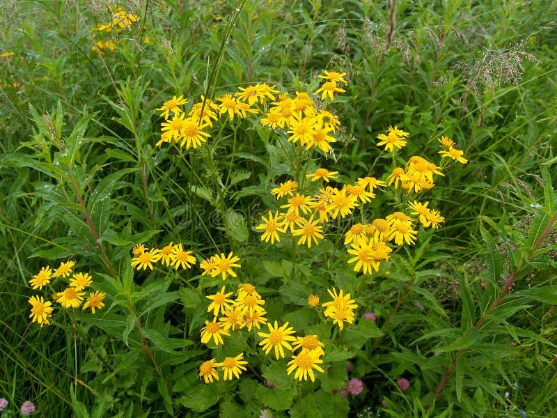 Het tot bloei komen groundsel subalpiene Senecio subalpinus K koch royalty-vrije stock foto
