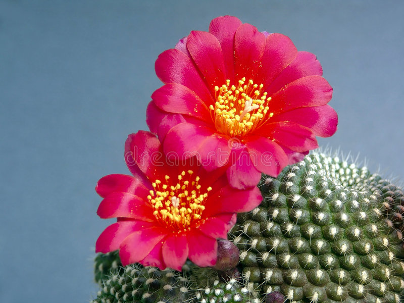 Het tot bloei komen kariusiana van cactusRebutia. royalty-vrije stock fotografie
