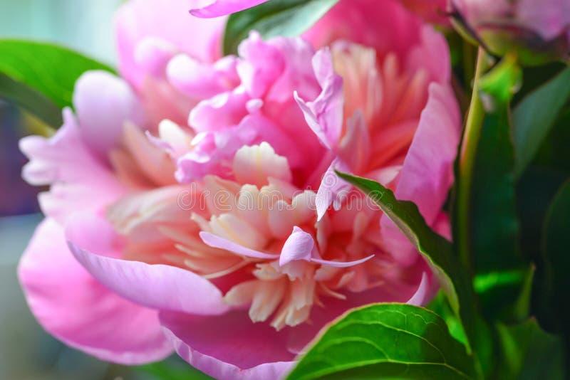 Het tot bloei komen pioenmacro in zacht licht voor drukken, affiches, ontwerp, dekking, behang De tuinbloem van Nice De lente en  stock foto's
