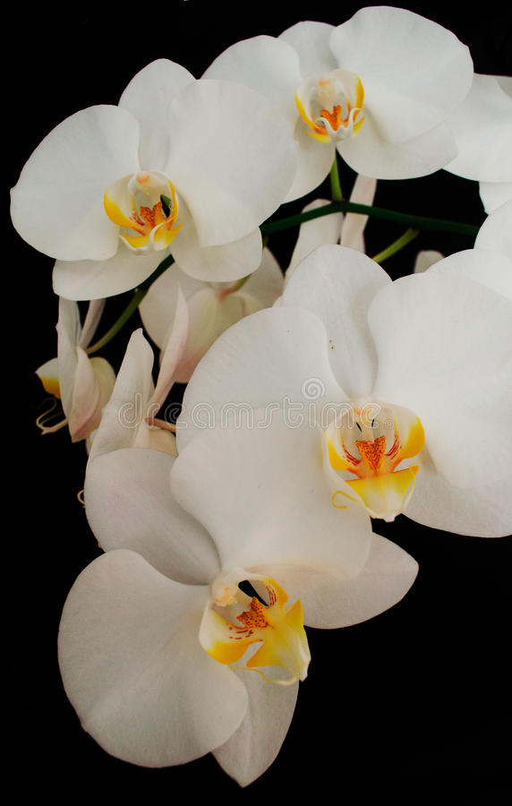 Het tot bloei komen prachtig tak van de witte bloem van de phalaenopsisorchidee met geel die centrum op een zwarte achtergrondclo royalty-vrije stock fotografie