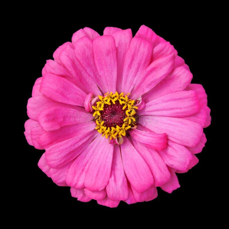 Het tot bloei komen Roze Zinnia Elegans Isolated op Zwarte stock foto's