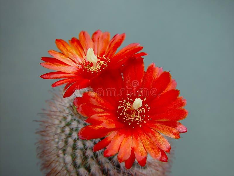 Het tot bloei komen sanguiniflora van cactusParodia. stock foto