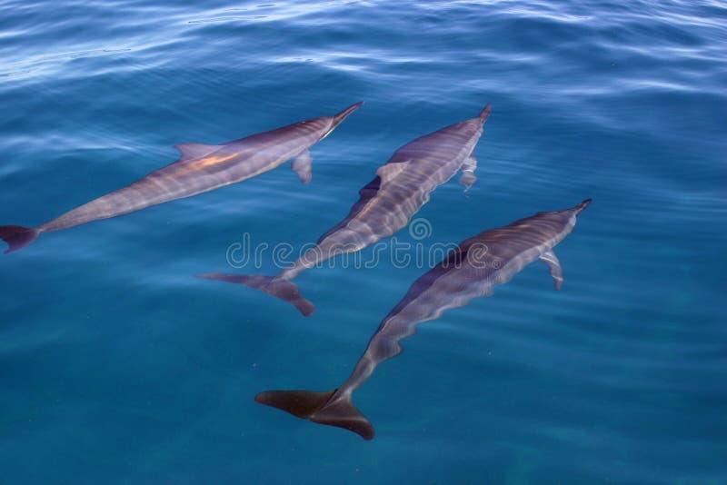 Het Trio van de dolfijn stock afbeeldingen