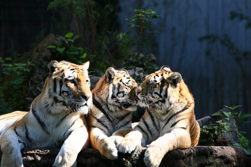 Het trio van de tijger stock afbeeldingen