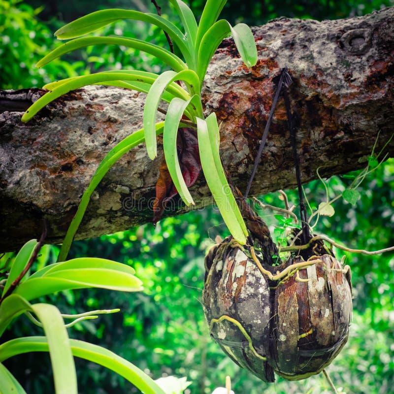 Het tropische orchidee groeien in kokosnotenshell pot stock afbeeldingen