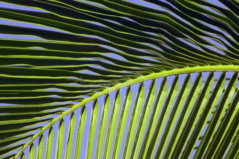 Het tropische Varenblad van de Palm van Maui stock foto