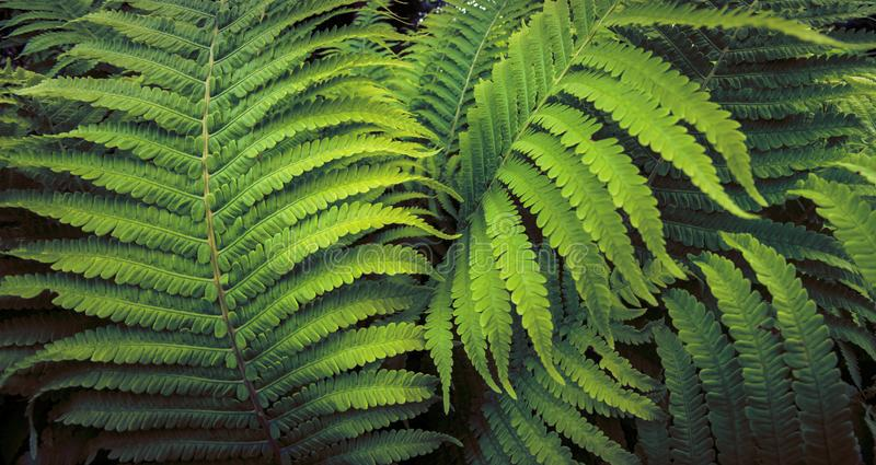 Het tropische vareninstallatie groeien in botanische tuin met donkere lichte achtergrond stock afbeelding