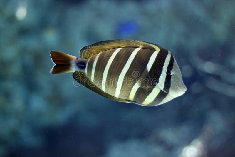 Het tropische vissen onderwater zwemmen royalty-vrije stock afbeelding