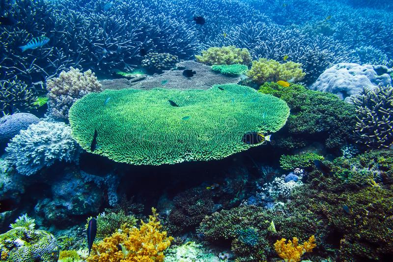 Het tropische wild met koralen en vissen Het overzeese leven in Indische Oceaan royalty-vrije stock foto's