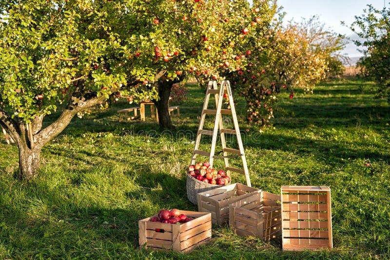 Het tuinieren en het oogsten De gewassen die van de dalingsappel in tuin oogsten Apple-boom met vruchten op takken en ladder voor stock foto's