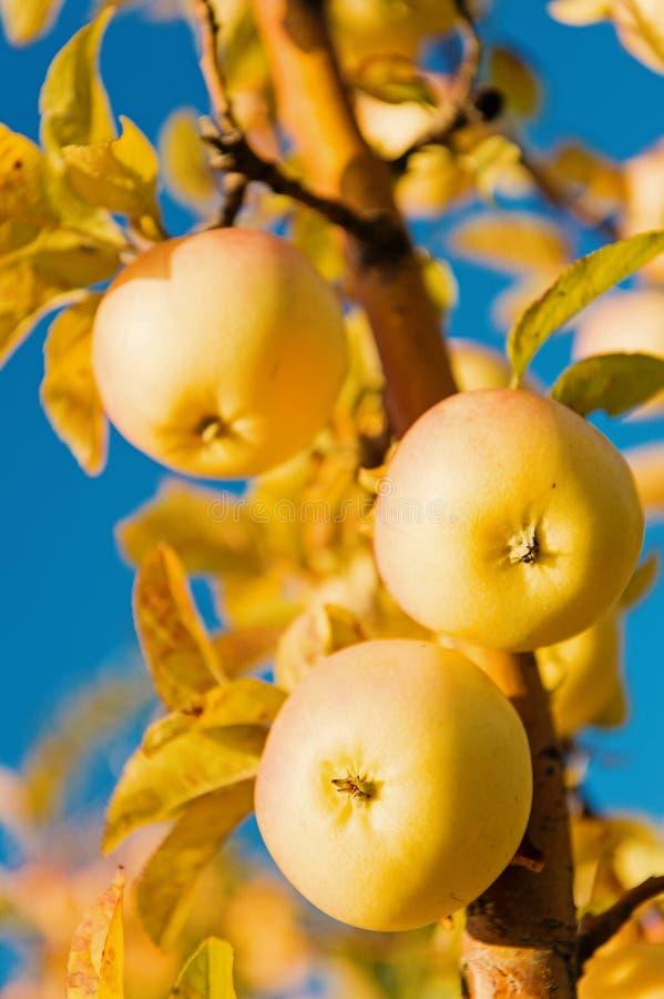 Het tuinieren en het oogsten De het organische landbouwbedrijf of tuin van appelgewassen De herfst appeloogstseizoen Rijk oogstco stock fotografie