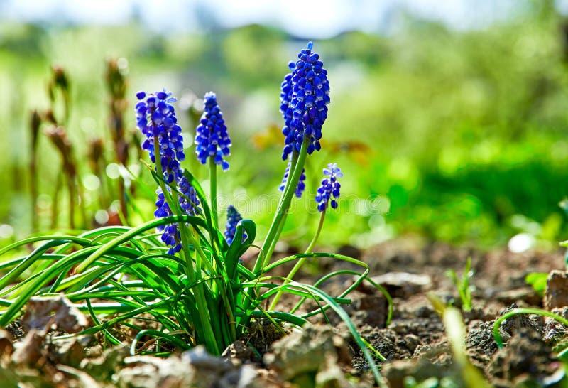 Het tuinieren en van de bloementeeltlente het boeket van bloemmuscari royalty-vrije stock afbeelding