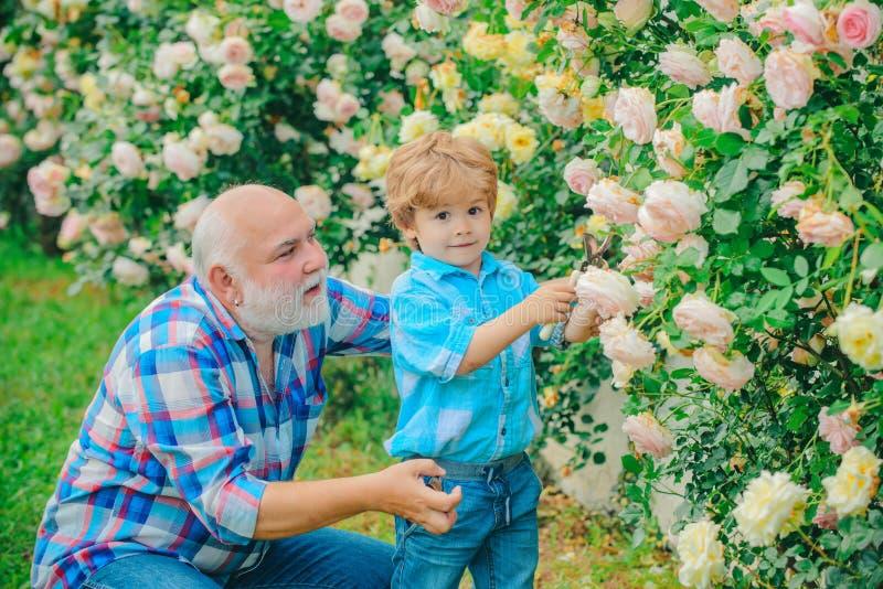 Het tuinieren - Grootvadertuinman die in zonnige tuin rozen planten Leuke weinig jongen het water geven bloemen in de de zomertui stock afbeeldingen