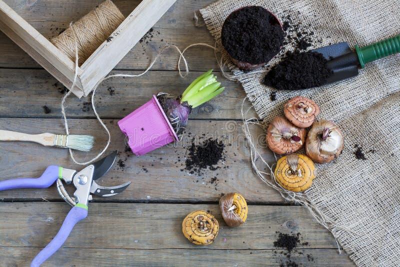 Het tuinieren hulpmiddelen, knollen (bollen) gladiolen, hyacint en kruiden op donkere houten lijst royalty-vrije stock afbeeldingen