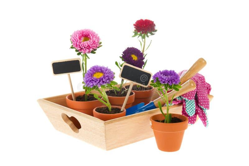 Het tuinieren met asters royalty-vrije stock fotografie