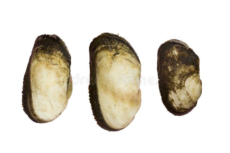 Het tweekleppige schelpdier van de Arcidaebak op witte achtergrond wordt geïsoleerd die stock afbeelding