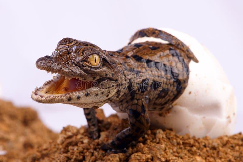 Het Uitbroeden van de krokodil stock foto's