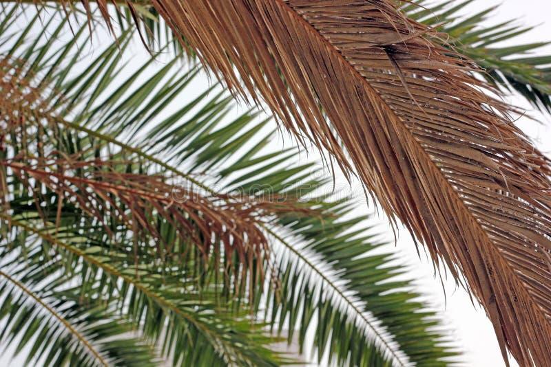 Het uitdrogen van palmbladen stock foto
