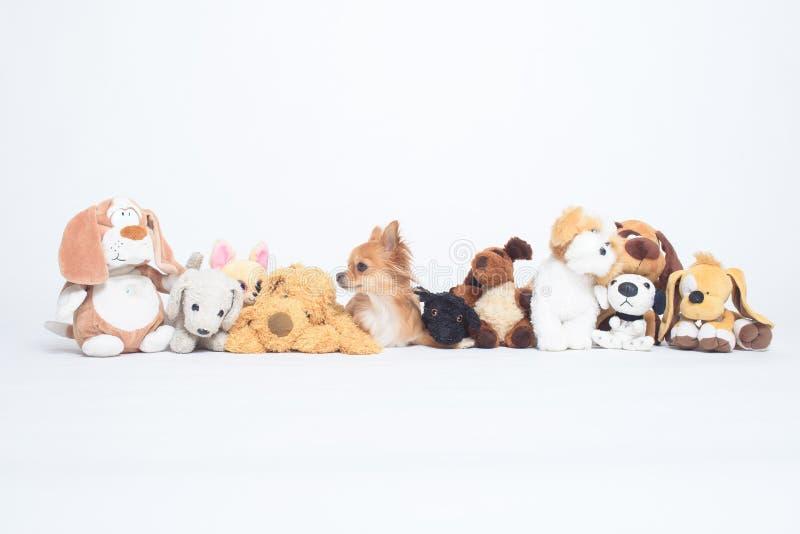 Het uiterst kleine Chihuahua-hond verbergen onder rij van pluchespeelgoed stock afbeeldingen