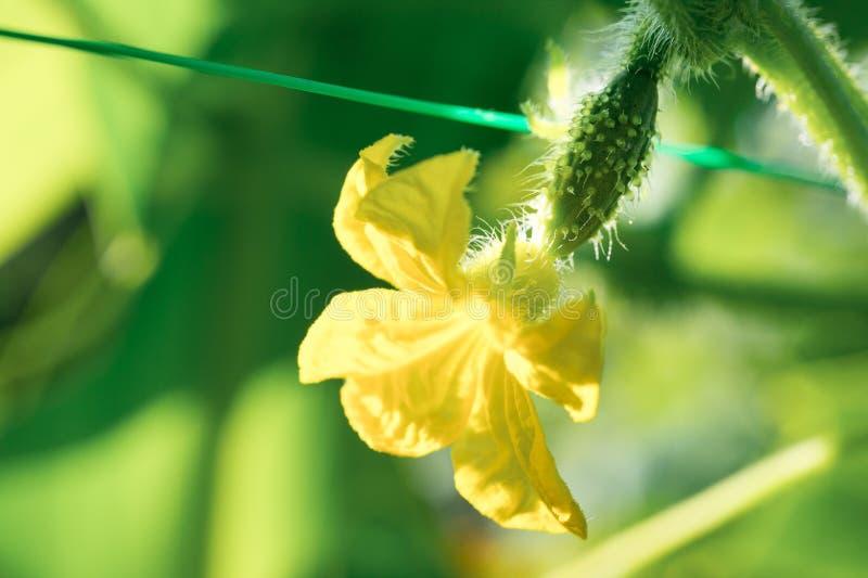 Het uiterst kleine komkommer groeien met gele bloem, met dauw op vegeta stock afbeeldingen
