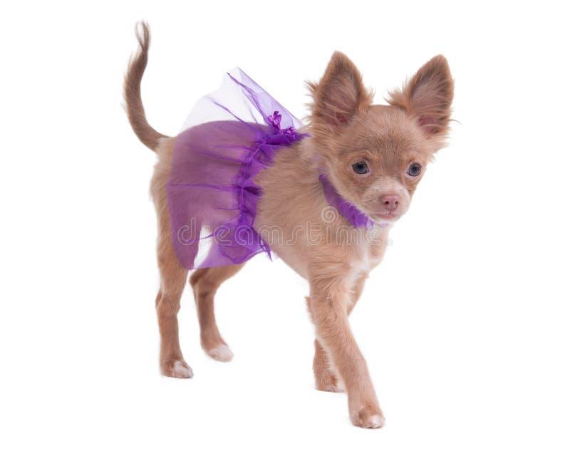 Het uiterst kleine puppy van de chihuahuaballerina royalty-vrije stock foto