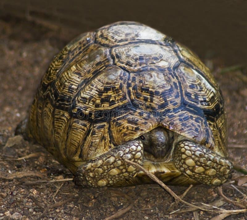 Het uitgestraalde Verbergen van de Schildpad stock foto's