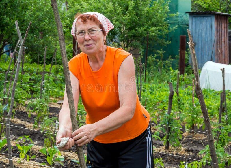 Het uitrekken van latwerk om de groei van tuininstallaties te steunen stock foto