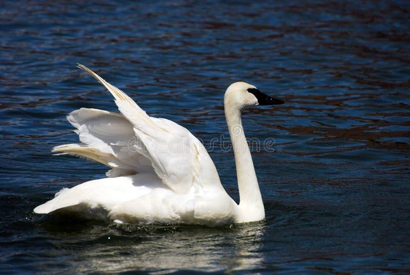 Het Uitrekken zich van de Zwaan van de trompetter Vleugels royalty-vrije stock foto's
