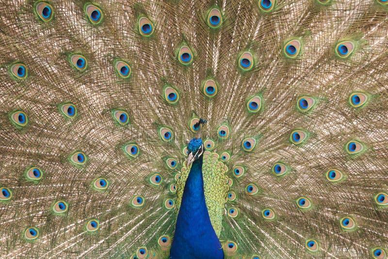 Het uitspreiden van de pauw veren stock afbeeldingen