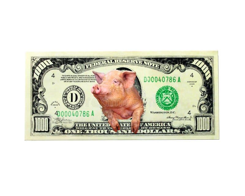 Het varken kijkt in plaats daarvan van de duizend dollarsnota de Amerikaanse geïsoleerde voorzitter stock afbeelding