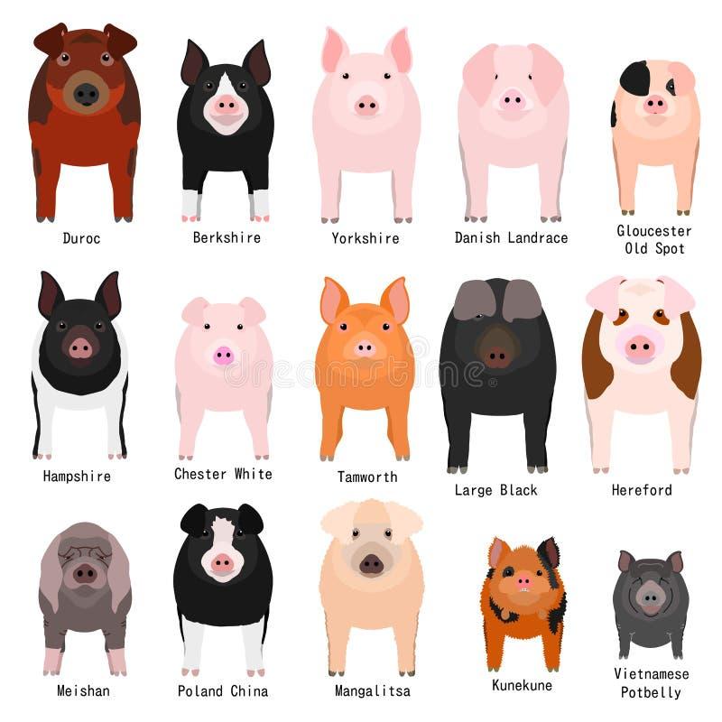 Het varken kweekt grafiek met rassennaam royalty-vrije illustratie