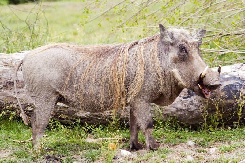 Het varken van de wrat stock afbeeldingen