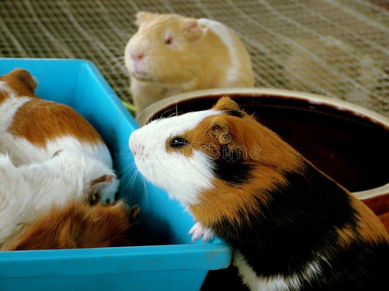 Download Het varken van Gunea stock foto. Afbeelding bestaande uit konijn - 30840