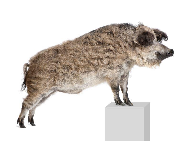 Het varken van Mangalitsa of van het krullend-haar status stock foto